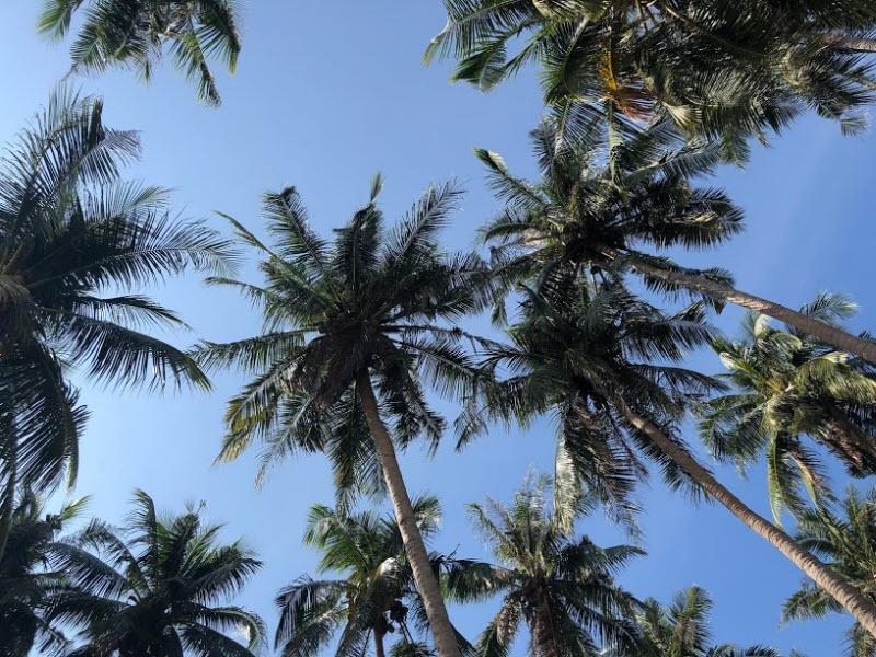 bài văn tả cây dừa lớp 4 hay nhất