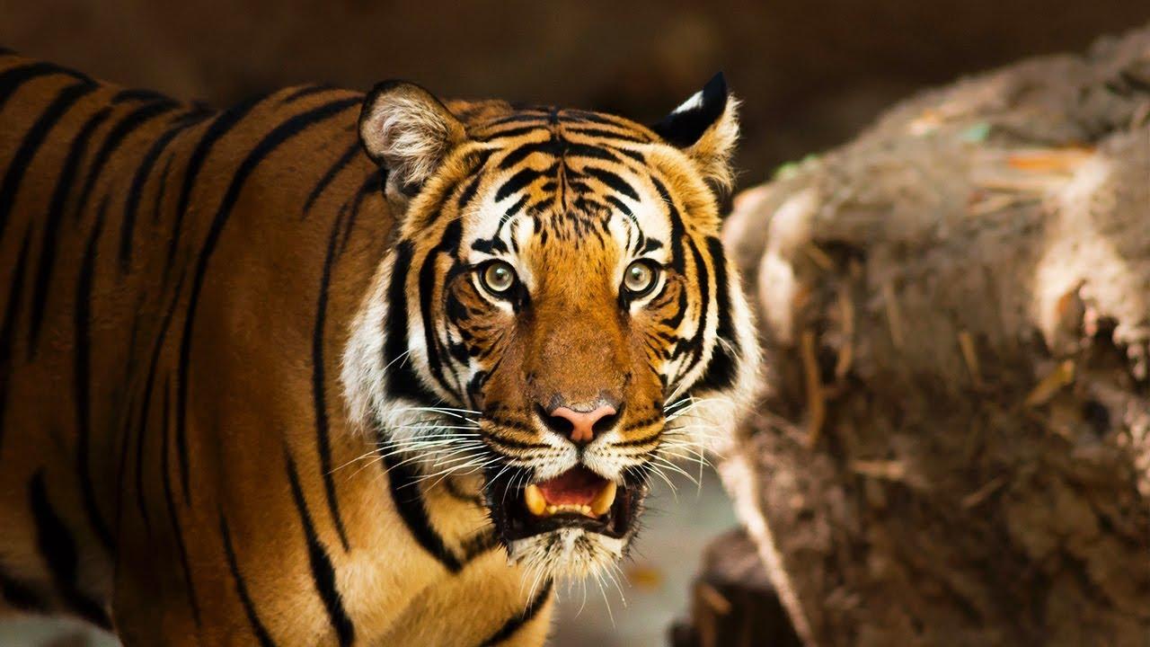 top 3 bài văn tả con hổ