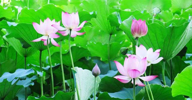 top 3 bài tả đầm sen đang mùa hoa nở