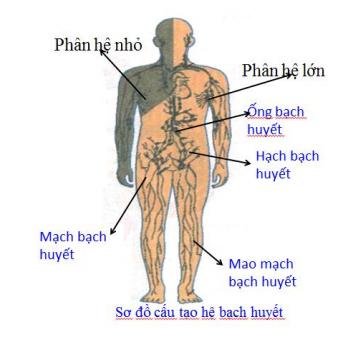 Thành phần chính của hệ lưu thông bạch huyết