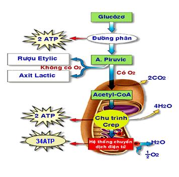 Sơ đồ quá trình hô hấp ở thực vật