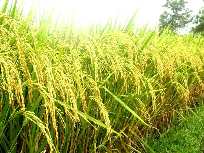 Hình ảnh cây lúa mùa thu hoạch